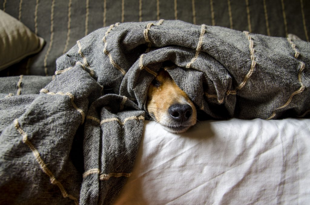 Hund im Bett / Foto: Pixabay.com